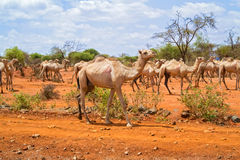 Herd of Camels in Ethiopia Royalty Free Stock Photography