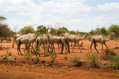 Herd of Camels in Ethiopia Stock Photo
