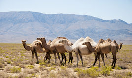 The herd of camels has a rest in mountains Royalty Free Stock Photo