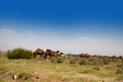 Herd of camels on the meadow Royalty Free Stock Photos