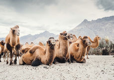 Herd of camels on the sands of Nubra valley, India Royalty Free Stock Photo