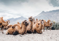 Herd of camels on the sands of Nubra valley, India Royalty Free Stock Photography