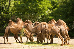 Herd of camels Royalty Free Stock Photography
