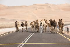 A herd of camels walking on the road. stock photos