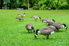 Herd of Canada Geese Seeking Food Stock Photo
