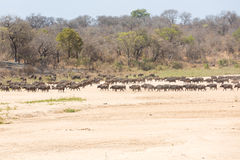 Herd of Cape Buffalo Royalty Free Stock Images