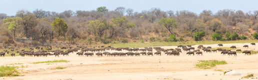 Herd of Cape Buffalo Stock Images