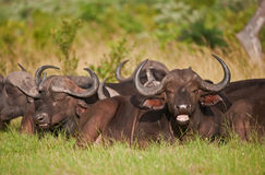 Herd of Cape Buffalo lying in the African bush. A herd of Cape Buffalo chewing the cud in the Sabi-Sands Game Reserve, South Africa stock photos