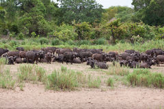 Herd of cape buffalo on river bank Stock Image