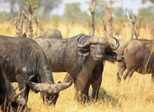 Herd of Cape Buffalo Syncerus caffer on the parched African plains. Hwange. Herd of Cape Buffalo Syncerus caffer on the African plains - Buffalo in the middle is royalty free stock image