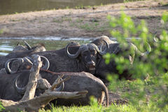 Herd of Cape buffalo, Syncerus caffer Stock Images