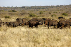 Herd of Cape Buffalos Stock Photography