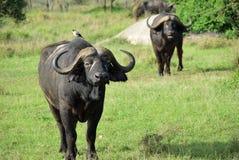 African buffalo, Tanzania, Africa Stock Photo