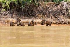 Herd of Capybara from Pantanal, Brazil Royalty Free Stock Photo