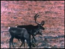 Herd of caribou migrating across barren terrain stock video