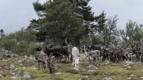Herd of Caribou Reindeer Grazing Near a Big Tree. Static medium wide shot of a herd of caribou reindeer with big antlers grazing near a big tree on the tree line stock video footage