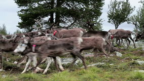 Herd of Caribou Reindeer on the Move stock footage