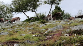 Herd of Caribou Reindeer Run over Hills stock footage