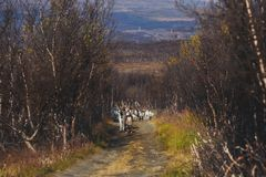 Herd of caribou reindeers pasturing and crossing the road near Nordkapp, Finnmark County, Norway Stock Photography