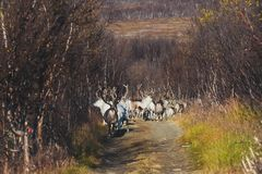 Herd of caribou reindeers pasturing and crossing the road near Nordkapp, Finnmark County, Norway Stock Image