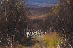 Herd of caribou reindeers pasturing and crossing the road near Nordkapp, Finnmark County, Norway Royalty Free Stock Image