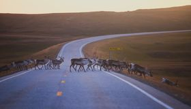 Herd of caribou reindeers pasturing and crossing the road near Nordkapp, Finnmark County, Norway. Herd of caribou reindeers pasturing and crossing the road near Stock Images