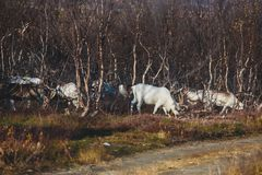 Herd of caribou reindeers pasturing and crossing the road near Nordkapp, Finnmark County, Norway Royalty Free Stock Photography