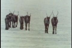 Herd of caribou walking across icy terrain stock video