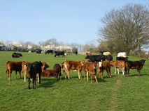 Herd of Cattle. Cattle Herd Grazing on a Spring Day royalty free stock image
