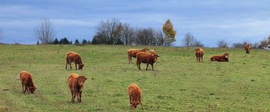 Herd of cattle. Herd of brown cattle grazing in an autumn field.The breed is Salers and is considered to be one of the oldest and most genetically pure of all Stock Image