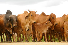 Herd of cattle. A heard of brown cattle Stock Images