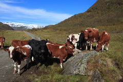 Herd of cattle stock photos