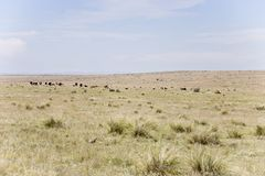 Herd of cattle Stock Photo