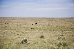 Herd of cattle Royalty Free Stock Photography