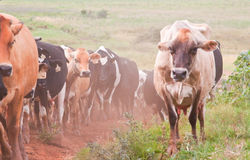 Herd of cattle approaching Royalty Free Stock Photos