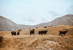 Herd of Cattle on Brown Grass Mountain Under White Sky Royalty Free Stock Images