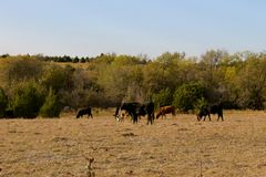 Herd of cattle Stock Image