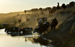 Herd of cattle Stock Images