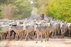 A herd of cattle driven by a Cowboy. A herd of cattle driven by a Gaucho stock photos