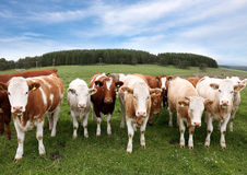 Herd of cattle. In English countryside Royalty Free Stock Photo