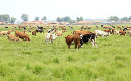 A herd of cattle are grazing Stock Photography