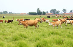 A herd of cattle are grazing Stock Image