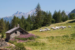 Herd cattle grazing in a flowery pasture near a chalet Stock Photos
