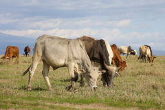 A herd of cattle grazing on green grass Stock Photography