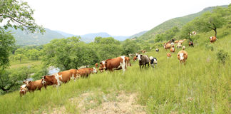 A herd of cattle are grazing Royalty Free Stock Photography