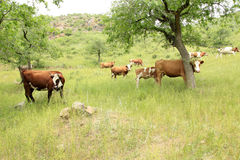 A herd of cattle are grazing Stock Photo