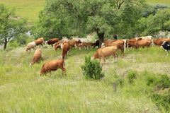 A herd of cattle are grazing Royalty Free Stock Photo
