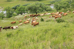 A herd of cattle are grazing Stock Photos