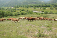 A herd of cattle are grazing Royalty Free Stock Photos
