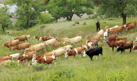 A herd of cattle are grazing Royalty Free Stock Images